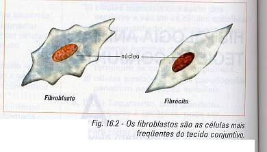 fibrocito e fibroblasto