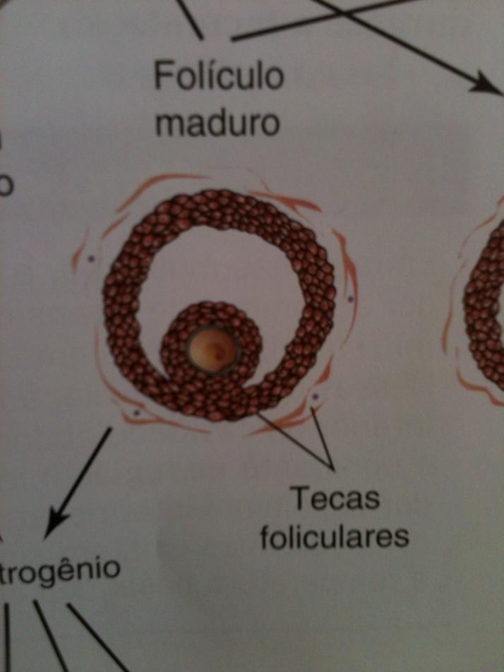 Teca Folicular