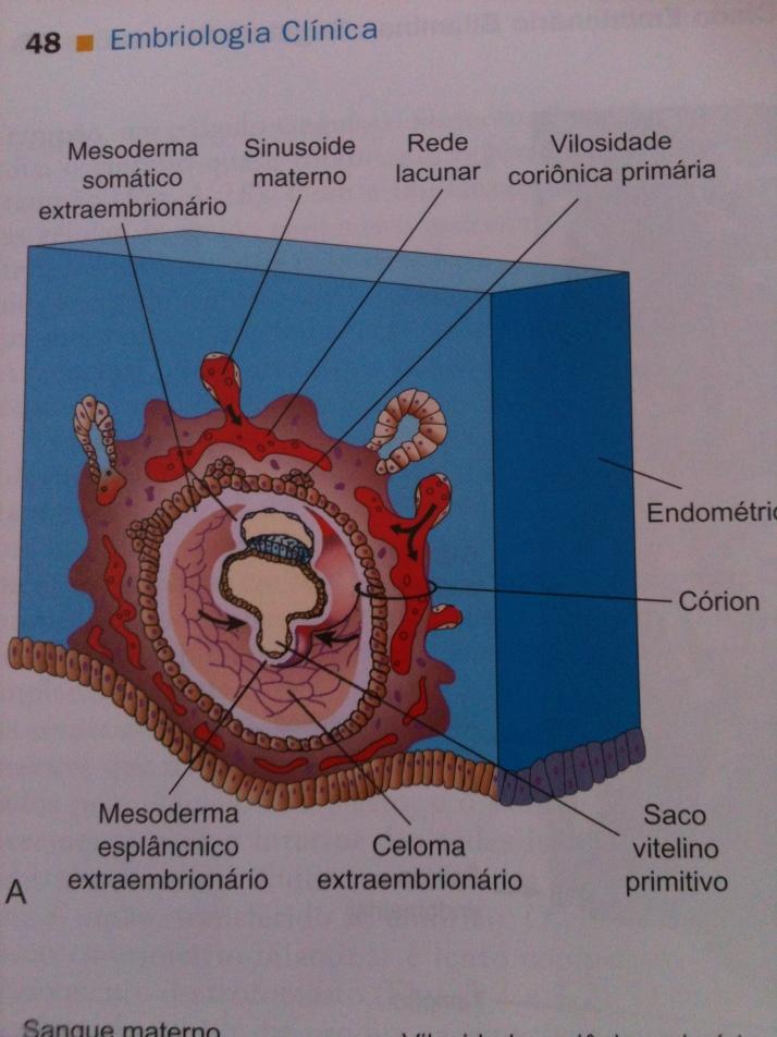 Mesoderma Extraembrionário