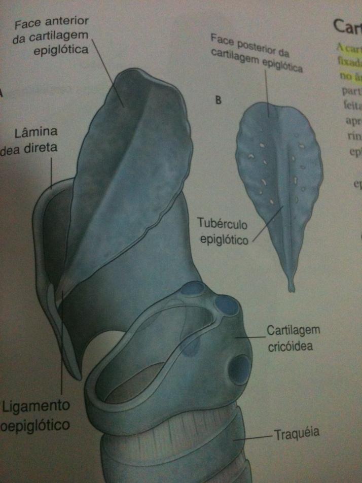 Cartilagem Epiglote
