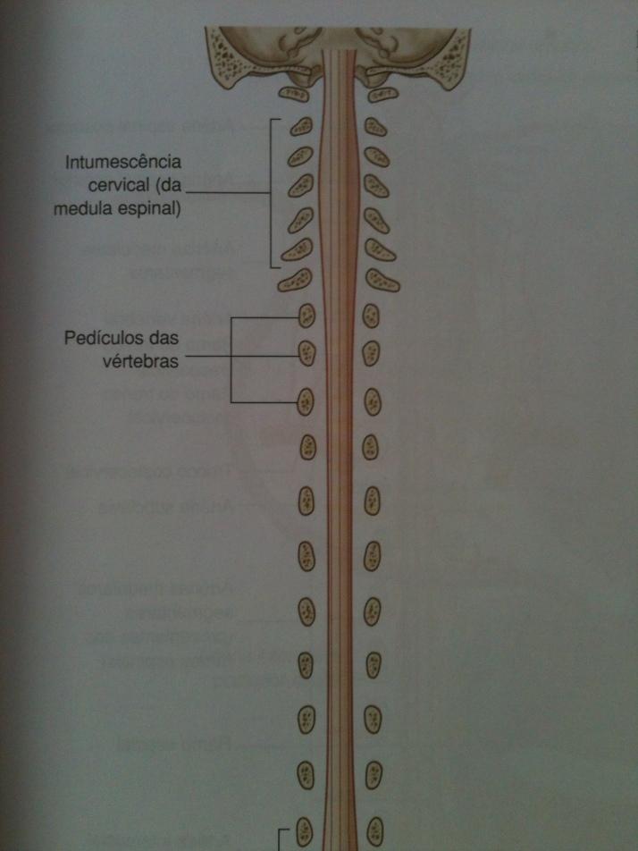 Intumescência Cervical