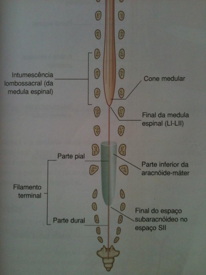 Parte Inferior da Medula Espinal
