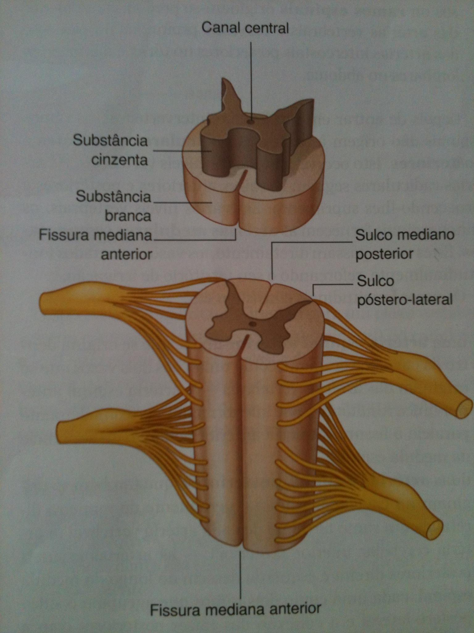 Anatomia da Medula Espinhal e suas Funções Motoras; Os ...