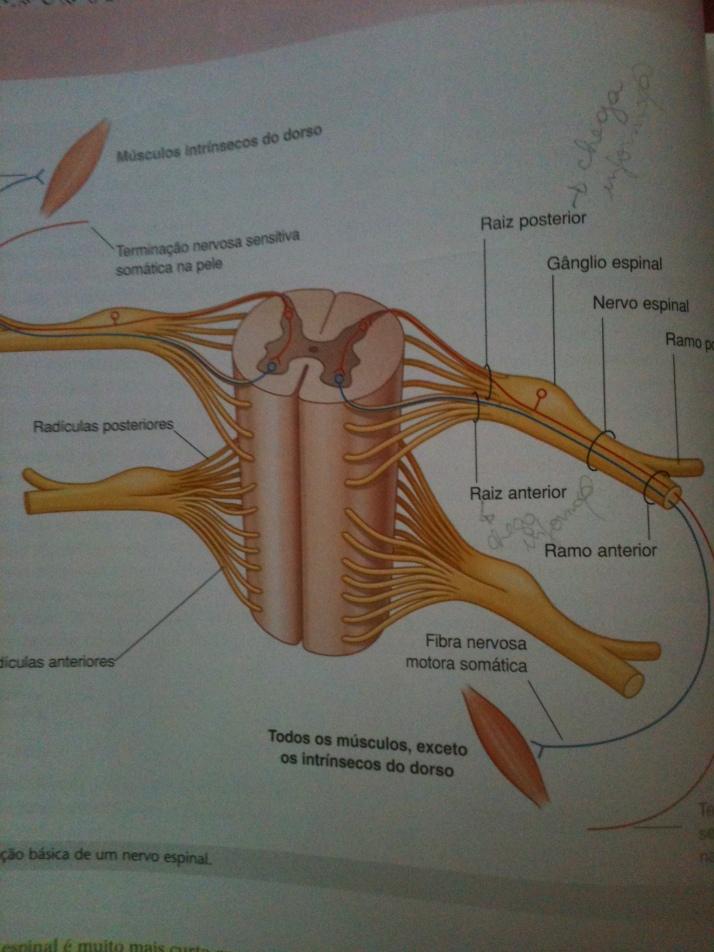 Nervos Espinais