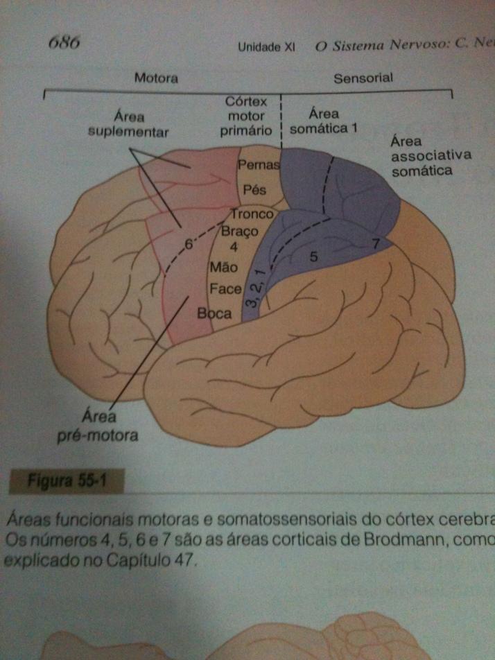Áreas Motoras e Somatossensoriais